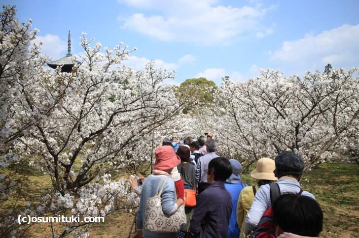 桜並木もピーク時よりも混雑していません(2018年4月3日)