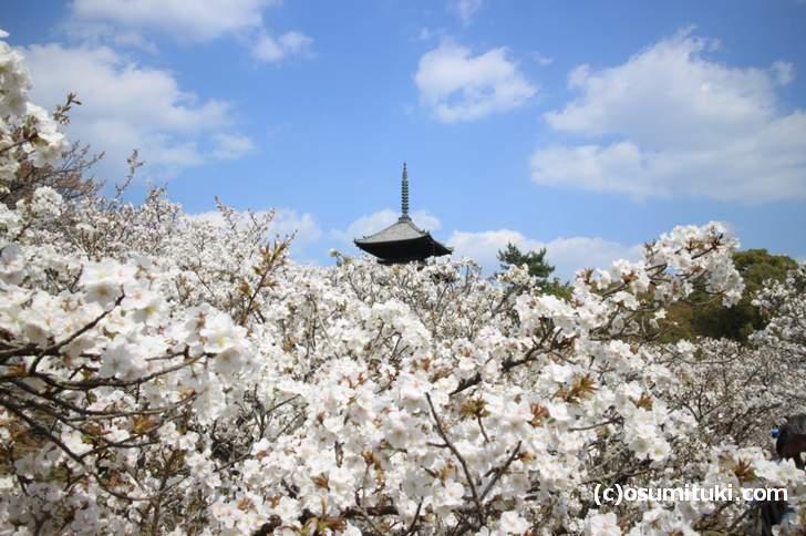 仁和寺の御室桜の撮影スポットは北側の並木道入口付近(2018年4月3日撮影)