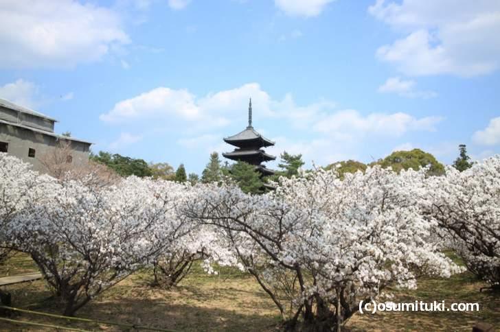 仁和寺の御室桜が満開、土手の撮影スポットから撮影(2018年4月3日撮影)
