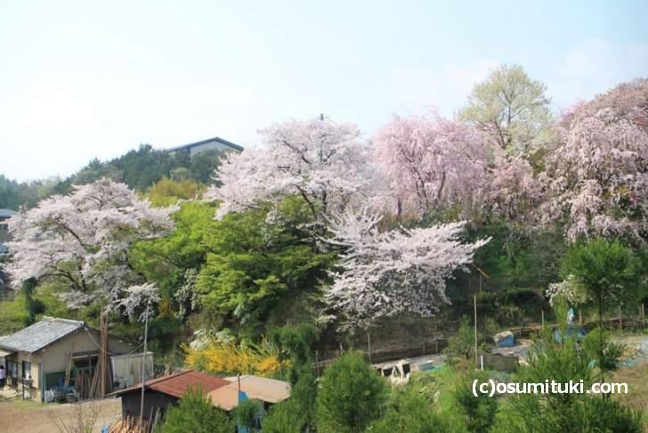 ソメイヨシノの葉が一部で見られるがまだまだ見頃(2018年4月4日撮影)