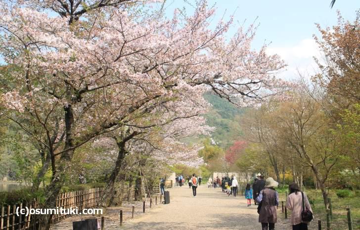 半分以上散っていた平安郷の桜(2018年4月4日撮影)