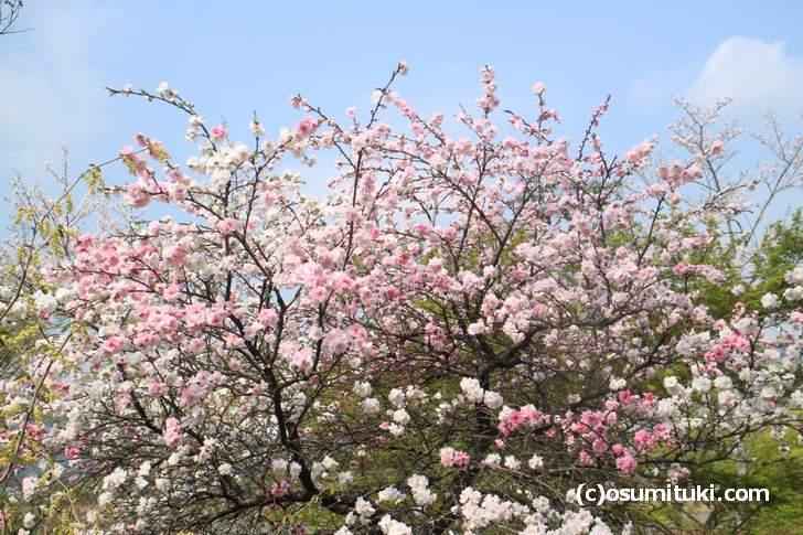 まだ満開の木も!これは「梅」ですね