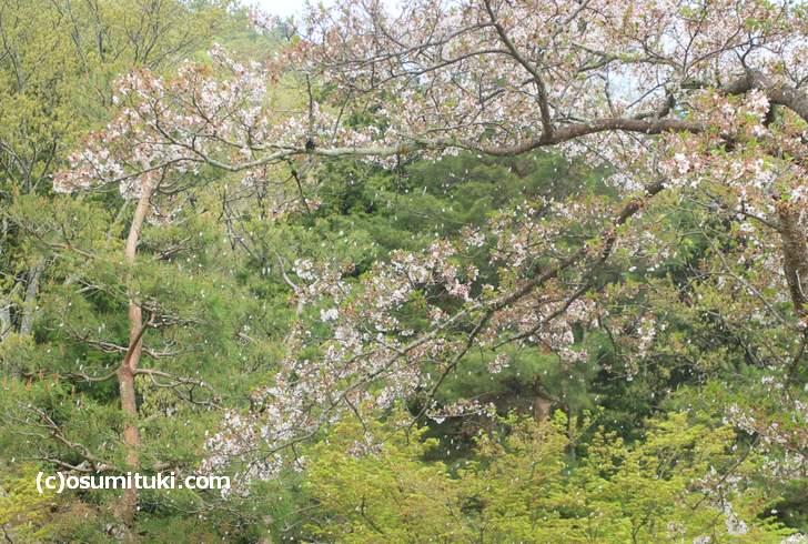 野点の席でも桜が舞っていました