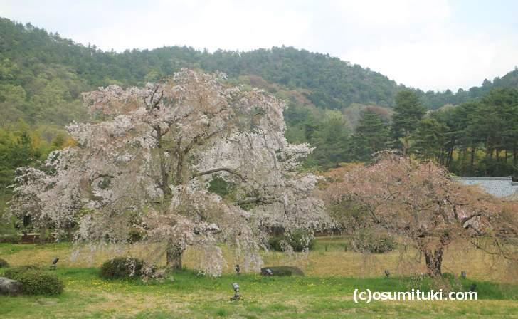 先日までライトアップされていた桜の巨木(2018年4月4日撮影)