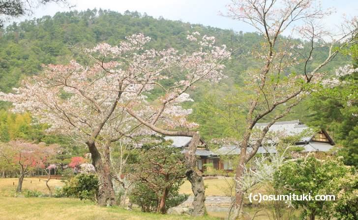 庭園の桜もまだ咲いていました(2018年4月4日撮影)