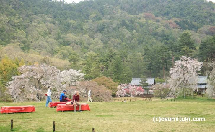 平安郷の花見席から、咲いている桜を見る(2018年4月4日撮影)