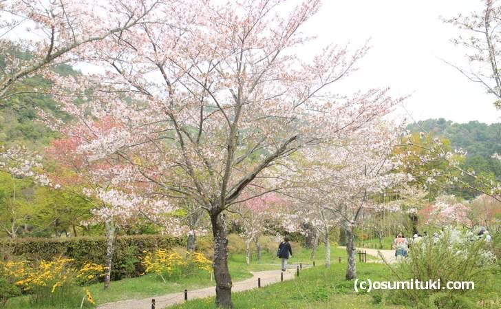 平安郷の桜並木(2018年4月4日撮影)