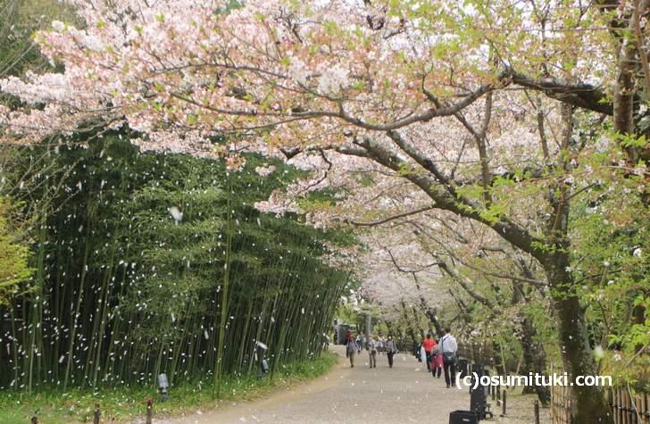 桜の花びらが舞う平安郷(2018年4月4日撮影)