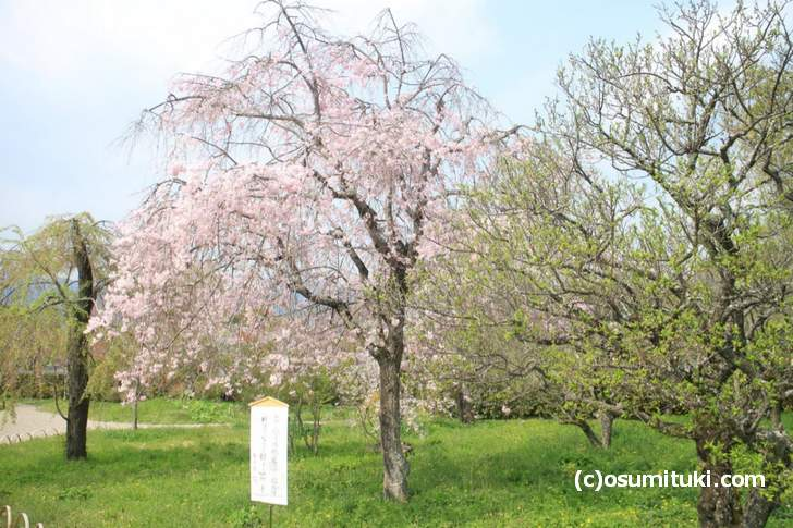 平安郷 2018年「春の一般公開」で京都の桜も終わりです