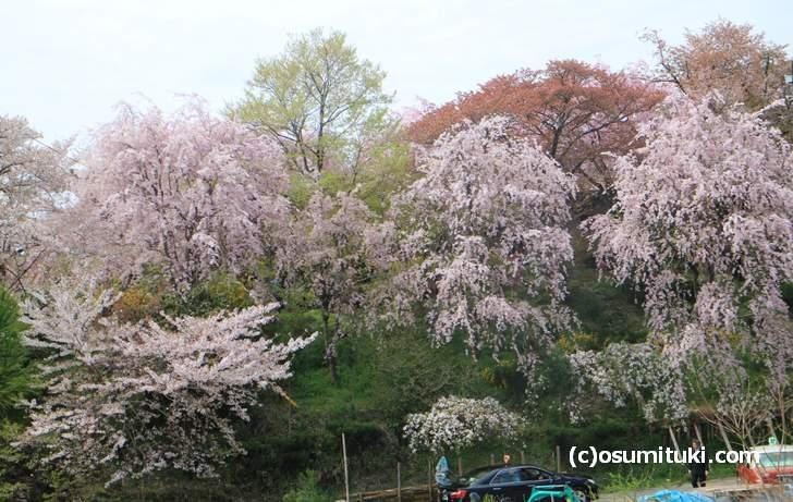 ソメイヨシノが一気に散って、枝垂れ桜が見頃(2018年4月4日撮影)