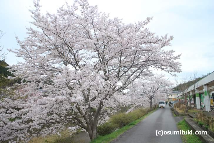 ウッディ京北やサンダイコーのすぐ脇「弓削川」の桜並木(2018年4月5日撮影)