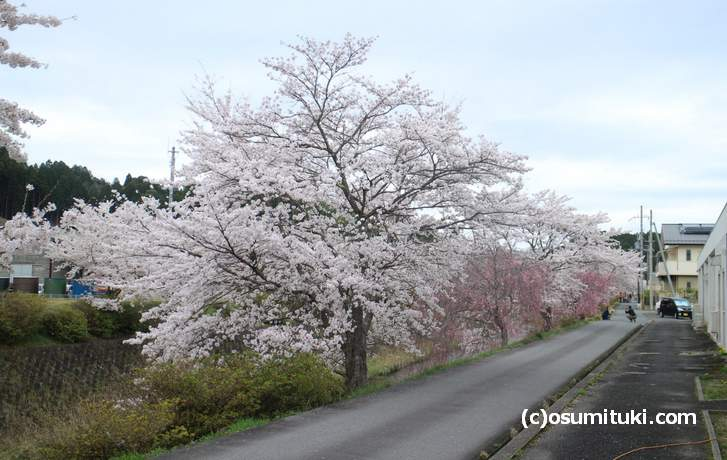 土手の下から桜がのびているので、目線に桜の花があるのが特徴です(2018年4月5日撮影)