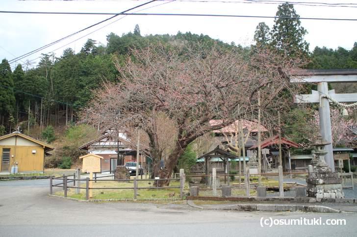 山桜の変異種「黒田百年桜」はこれから開花です(2018年4月5日撮影)