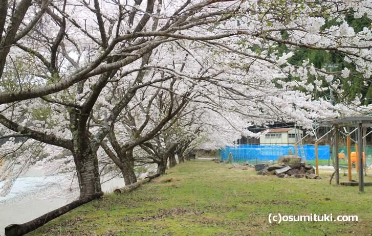 京都の京北には至るところに桜がありました