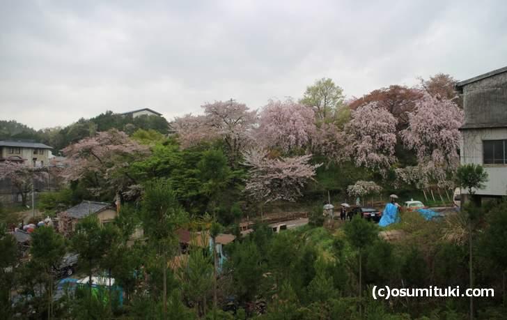 ソメイヨシノは葉が出てきました、枝垂れ桜はまだ見頃(2018年4月6日撮影)