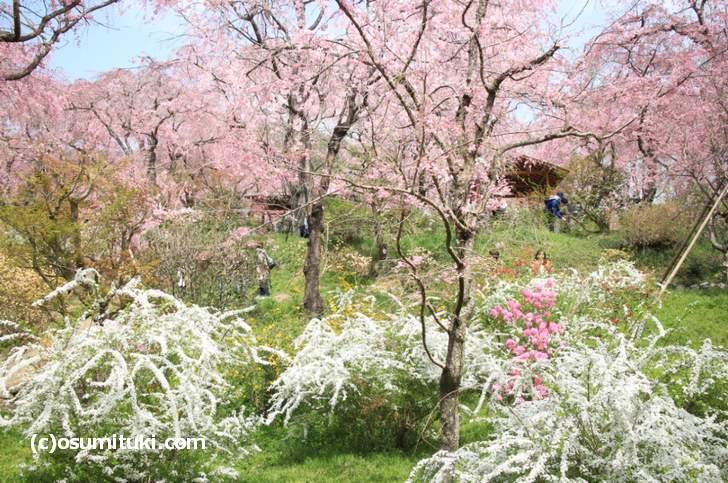京都最強の桜の園「原谷苑」も紹介されるようです(2018年4月1日撮影)