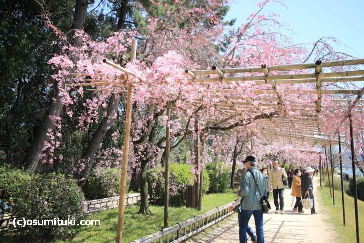 キスマイ北山宏光さんも歩いた半木の道(なからぎのみち、2018年3月30日撮影)