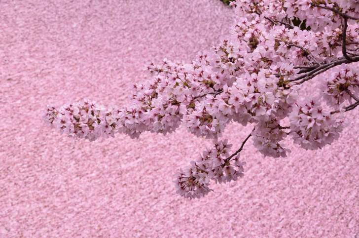 哲学の道に流れる水路に桜が散ると「まるで桜の絨毯」です