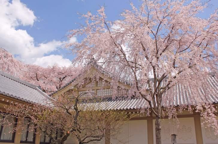 醍醐寺の桜も紹介されそうです