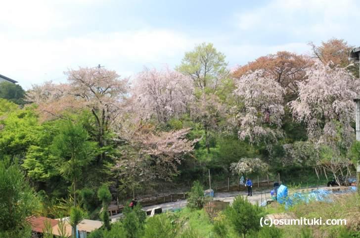 ソメイヨシノは完全に落ち花、枝垂れ桜はまだ見頃(2018年4月7日撮影)