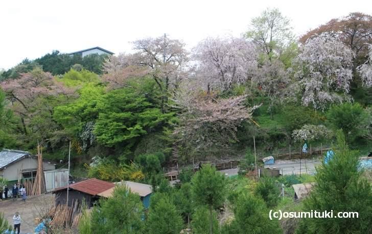枝垂れ桜はまだ見頃(2018年4月8日撮影)