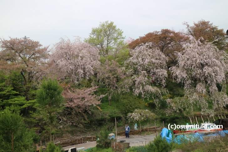あいにくの曇りですが枝垂れ桜はまだ見られる(2018年4月9日撮影)