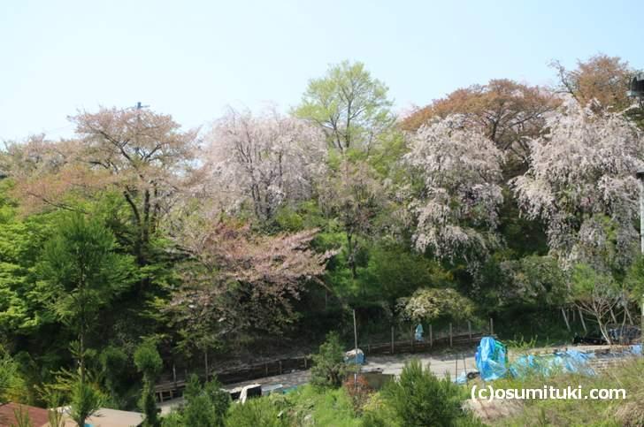 枝垂れ桜はまだ8分ほど咲いている(2018年4月10日撮影)
