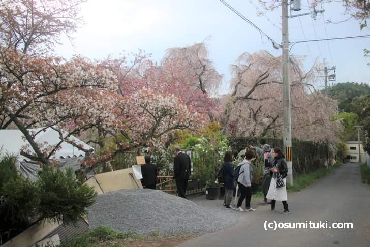 枝垂れ桜に新葉が目立ち始めました(2018年4月11日撮影)