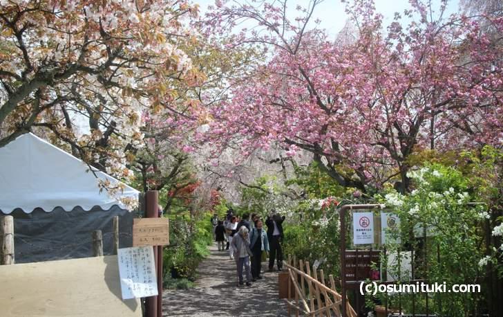 枝垂れ桜と八重桜がまだ少し咲いています(2018年4月12日撮影)