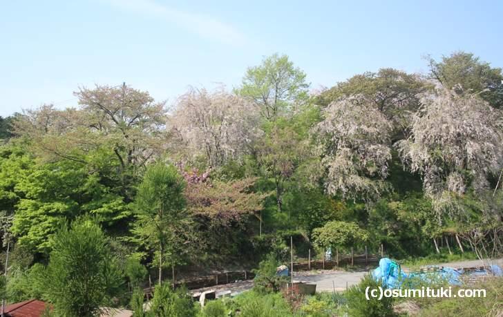 枝垂れ桜は3分咲きくらい、八重桜がまだ見頃(2018年4月13日撮影)