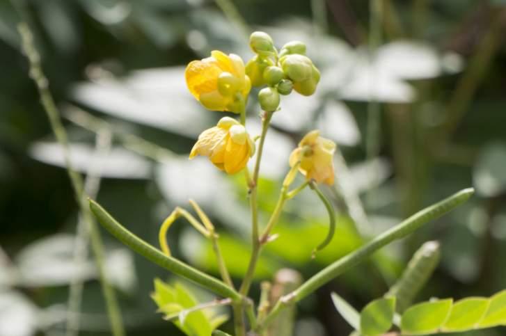 「花はぶ茶」はハブソウの花を天日で干したものを焙煎したお茶のこと