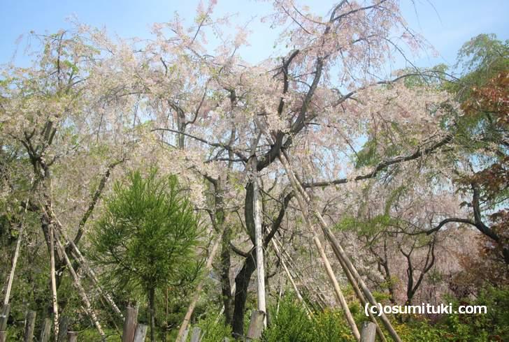枝垂れ桜は3分咲きくらい、八重桜も落花始まる(2018年4月14日撮影)