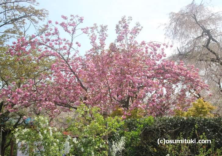 一番遅く咲く八重桜も終わりそうです