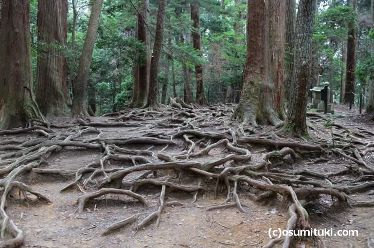 牛若丸が修業した伝説の木の根道