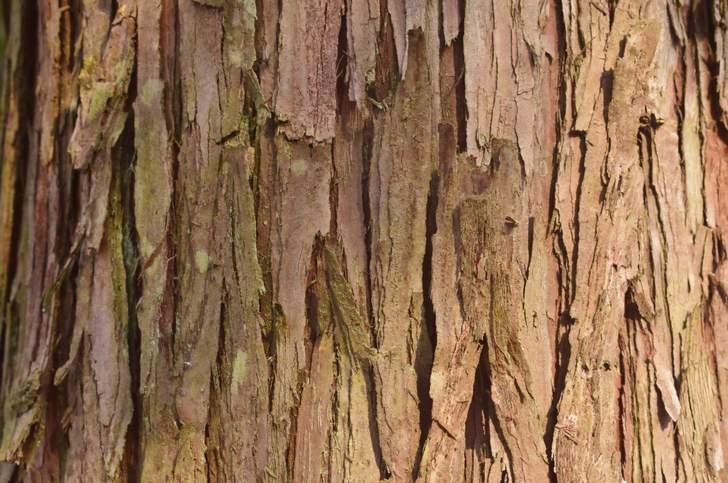 これが「サワラ」の木です