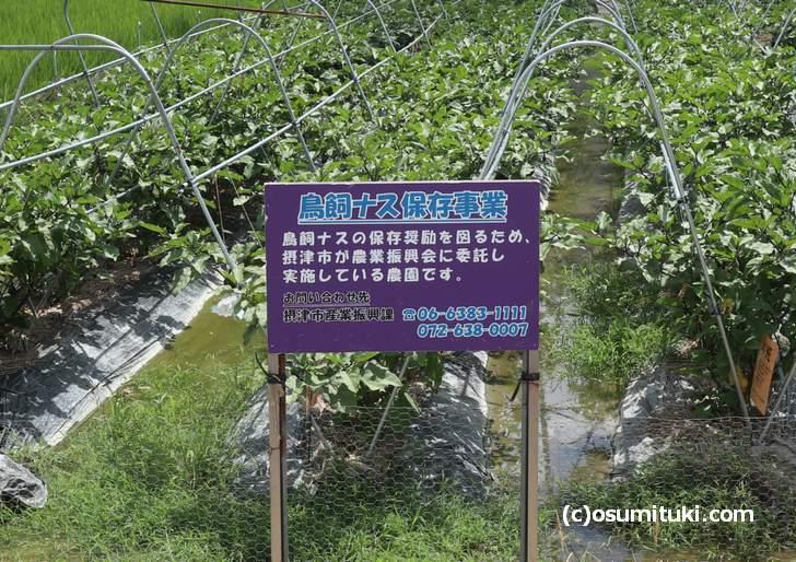 鳥飼八防の「鳥飼茄子」保存畑