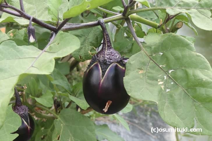 保存畑の「鳥飼茄子」、今年は大雨の影響でサイズは小ぶりです
