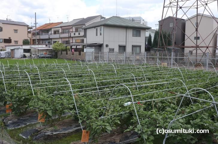 ざっと200株ほどの鳥飼茄子、入手するのは困難そうです