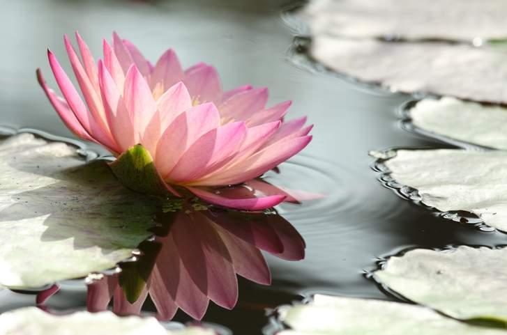 キレイな花を咲かせる「蓮(はす)」