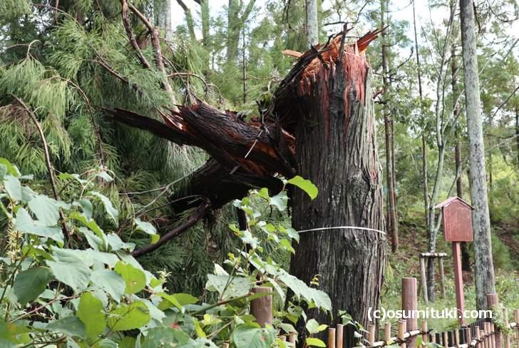 龍安寺の近くでは大きな幹の木が折れるほどでした(2018年9月5日撮影)