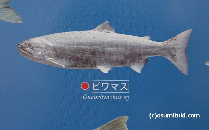 琵琶湖に住む固有種ビワマス