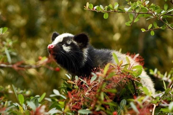 京都で一番見かける野生動物は「ハクビシン」
