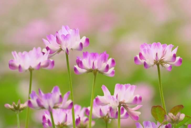 れんげ米いちほまれ は「れんげ栽培」の100%有機栽培の米