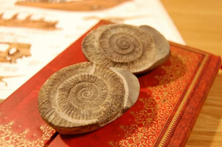 手取層群で見つかったアンモナイトの化石