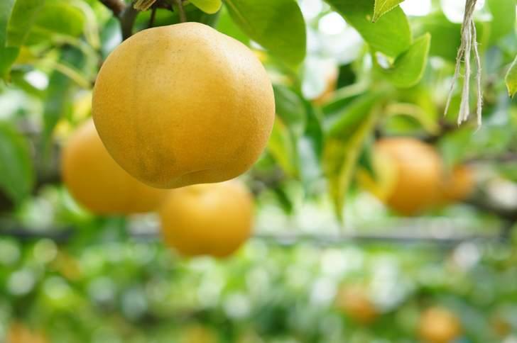 濃加茂市山之上町梨農園「福田農園」さんがが『人生の楽園』で紹介されます