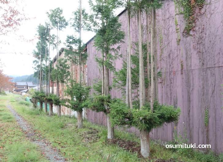 北山台杉、なんか一本の杉から複数の杉が生えている珍妙な姿です