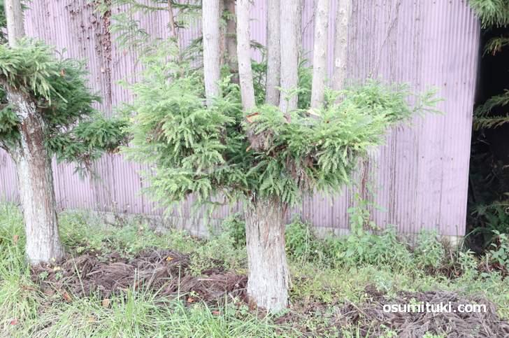 北山台杉は枝をまっすぐに育てて丸太にする特殊な栽培方法で作られます