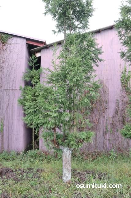 ウッディ京北の近く、弓削川沿いにある北山台杉(京北)