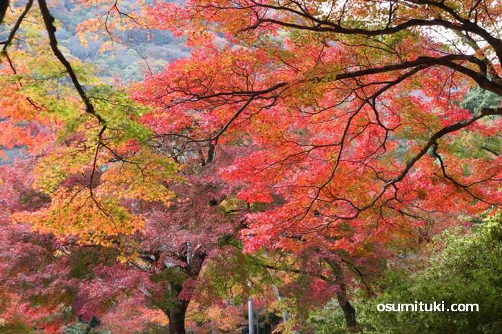 嵐山公園亀山地区の紅葉は絶景です(2018年11月25日)