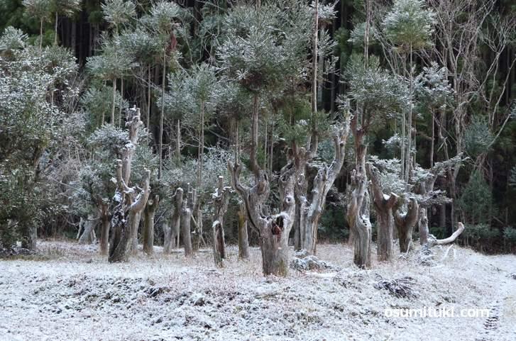 金閣寺のある山の山中で撮影した雪(2018年12月28日朝に撮影)